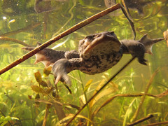 Common Toad (Bufo bufo) (duckinwales) Tags: swimming pond underwater toad urbanwildlife detritus aquatic rhyl wetland bufobufo commontoad hiddenworld breedingpond canong11