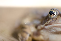 Frogs Eye (Elliot young) Tags: macro eyes nikon dof pov amphibian frog sharp depth slimy boken