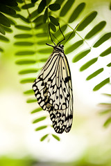 Black and white butterfly (Kitty Terwolbeck) Tags: white black green nature animals butterfly zoo groen natuur zwart wit dieren artis vlinder dierentuin
