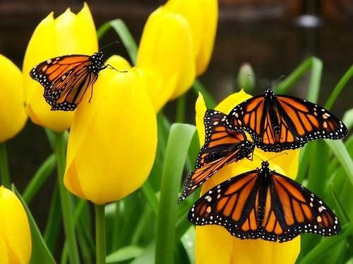 Leptiri Na Cvijecu Download Besplatne Pozadine Za Desktop