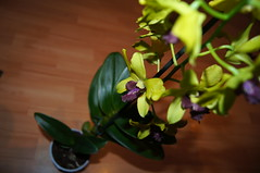 Dendrobium 'Anna' Green (Sistercja) Tags: orchid orchidea annagreen storczyk dendrobiumphalaenopsis
