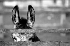 Camera shy (JasonTraynor) Tags: field gardens fence eyes farm donkey ears shy hiding tannaghmore