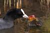 Coot / Meerkoet (Fulica atra) (Levina de Ruijter) Tags: amsterdam birds animals canon familie nederland thenetherlands vogels chick canon5d dieren jonkie coots meerkoeten flevopark kenko14xtc canonef300mmf4lisusm
