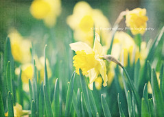 Springtime is blooming (KimFearheiley) Tags: green floral yellow spring champagne daffodil bloom bulbs springtime blooming florabellatexture florabellaaction kimfearheileyphotography teallinen colorlush