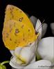 """Yellow beauty""... (Alex Verweij) Tags: yellow butterfly orchidee geel afc almere vlinder fotoclub tropisch vlindertuin deorchideeenhoeve luttelgeest alexverweij almeersefotoclub"