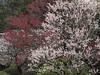 Prunus mume at Joumyouji,Kamakura (yopparainokobito) Tags: japan kamakura powershot 梅 鎌倉 g10 prunusmume 浄妙寺 jomyoji powershotg10 joumyouji