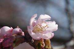 2012 Early Sakura (No Donuts For You) Tags: macro japan cherry tokyo xpro shinjuku blossoms sakura fujifilm gyoen 60mm fx xf f24 ooc xpro1