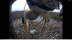 Great Blue Heron Second egg! (Laura Erickson) Tags: newyork birds nest species ithaca greatblueheron ardeidae ardeaherodias pelecaniformes cornelllabofornithology nestcam clonest