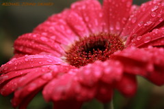 WHEN THE RAINS CAME DOWN (michaeljohnsimages) Tags: camera flower colour macro art classic nature wet water beautiful rain canon easter photo flickr dof image bokeh pebbles explore passion botanic chrysanthemum encounter fragrance crimsom blinkagain gettyimagesirelandq12012
