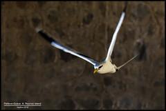Paille-en-queue (Phaethon lepturus) @ Reunion Island (LR Photographies) Tags: bird birds canon air ile rivire tamron oiseau runion paille le iledelareunion 70300 iledelarunion ludovic reunionisland phaethonlepturus 974 pailleenqueue phaethon tangsal 60d canon60d lepturus h974 hellfire974 wwwlrphotographiesfr wwwlrphotographiescom lrphotographies ludovicriviere