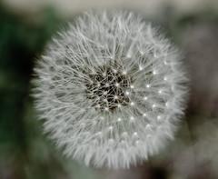 Blowball. (Bring Me The Honeybread.) Tags: blowball