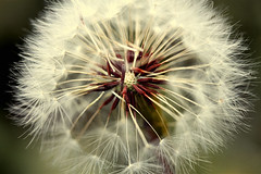 First photo with new marco lens (MissKaylaBrooke) Tags: macro nature make outside outdoors weed blow dandelion seeds greenery wish wishing