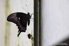 On A Pane (DMeadows) Tags: world light tourism window glass animal animals butterfly insect scotland wings edinburgh wildlife tourist pane captive attraction captivity davidmeadows dmeadows davidameadows dameadows