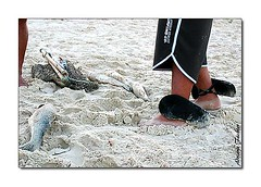 af0505_2492 (Adriana Fchter) Tags: ocean brazil fish praia beach sc brasil fauna canon landscape mar fishing south mullet artesanal culture ao florianopolis peixe fisher santacatarina pesca catarina tainha cultura sul pescaria costao praiadosantinho costaodosantinho