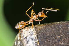 Red Ant 26-1 (maythep57) Tags: macro nature animal closeup insect nikon wildlife ant w insects macrophotography redant d600 macroinsect nikond600 nikonflickraward