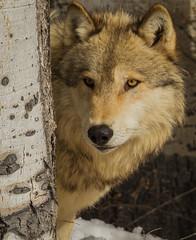 Wolf peering around aspen (hehirt) Tags: winter snow animals wildlife moab