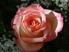 Rose (Gartenzauber) Tags: floralfantasy mixedflowers perfectpetals photosandcalendar flowersarebeautiful macroelsalvador excellentsflowers exquisiteflowers mimamorflowers flickrflorescloseupmacros thebestofmimamorsgroups greatshotss faunayfloradelmundo natureandpeopleinnature flickrsportal rosesforeveryone magicmomentsinyourlifelevel1 nature´scarousel magicmomensinyourlifelevel2