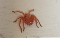 Badge Huntsman (Hopkinsii) Tags: spider huntsman 2014 neosparassus badgehuntsman