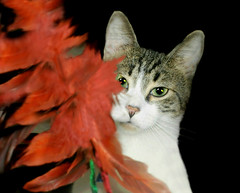 Fine Feathered Friend (floralgal) Tags: pet animal catportrait beautifulcats adorablecat grayandwhitetabby creativecatportrait mycathiggins redfeatherswithfeline featherwithcat catwithredfeathers feathertoywithtabbycat belovedpetcat