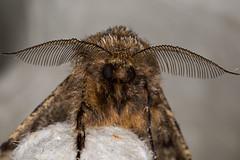 brindled beauty (postcardcv) Tags: macro beauty eos moth m3 invert brindled inverts caon