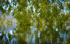 Willow (ekveronica) Tags: travel newzealand reflection tree green art reflections photography still willow serenity nz hanging quite leafs