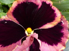 A Pansy in my Garden ! (Mara 1) Tags: yellow petals centre pansy spring2016