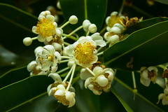 Calophyllum inophyllum (betadecay2000) Tags: road street gardens outdoor australia darwin ave australien avenue northern garten januar territory australie the 2016 austral strase gilruth