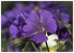 Every flower is a soul blossoming in nature.  Gerard de Nerval (EXPLORE) (mariannedeselle) Tags: spring purple blossom bloom geranium