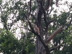 Barred Owl (robrenrel) Tags: sanantonio texas owl barred