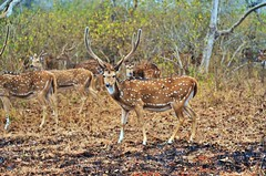 Spotted Deer (Smevin Paul - Thrisookaran !! www.smevin.com) Tags:  india paul photography deer spotted tamil ooty nadu bandipur smevin smevins thrisookaran