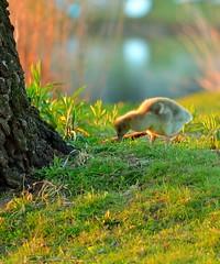 """ Search "" #Dreilndersee# (Kalbonsai) Tags: bird water germany landscape nikon wildlife gans gras waterscape kuiken kucken dreilndersee 55300mm d5100 naturphotography"