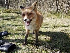 Happy (Pivi ) Tags: oslo norway happy fox april