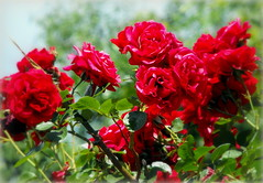 Red roses (Stella VM) Tags: flowers roses beautiful garden redroses