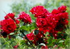 Red roses (Stella VM) Tags: flowers roses beautiful garden redroses цветя градина рози червени