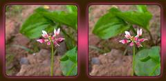 An Ugly Clover Bloom - Crosseye 3D (DarkOnus) Tags: flower macro closeup stereogram 3d crosseye weed phone pennsylvania cell 8 stereo ugly bloom mate clover stereography buckscounty huawei crossview darkonus