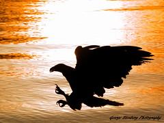 Eagle Strike (George Stenberg Photography) Tags: sunset water ngc baldeagle pacificnorthwest washingtonstate hoodcanal olympuse3