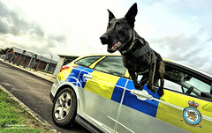 It's a Dogs Life! (Defence Images) Tags: uk dog animal glasgow military free police canine policecar british defense defence raf royalairforce mwd airdog northolt doghandler rafp militaryworkingdog servicepolicedog