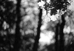 img857 (MZ163) Tags: flowers bw tree film monochrome spring bokeh samara ilfordpanf50 leicar8 summiluxr5014