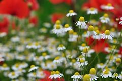Camomille (Martin PEREZ 68) Tags: flower color fleur countryside bokeh flor campo campagne couleur chamomile manzanilla camomille