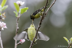 Lesser Goldfinch - Feeding (Bob Gunderson) Tags: sanfrancisco california birds northerncalifornia finches fortmason lessergoldfinch spinuspsaltria