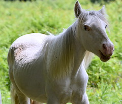 The White Horse. (pstone646) Tags: horse field animal outdoors countryside kent ashford equine