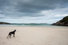 Hound at the beach (polaris37) Tags: greyhound scotland sutherland