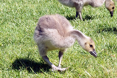 P6030019B (The Real Maverick) Tags: torontoparks highpark toronto ontario canada spring outdoor olympus goslings