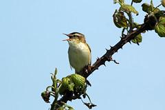 Sedge Warbler (NickWakeling) Tags: nature birds wildlife norfolk horsey warbler sedgewarbler canon60d sigma150600mmf563dgoshsmcontemporary