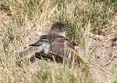 _53F6477EasternPhoebe (~ Michaela Sagatova ~) Tags: easternphoebe flycatcher birdphotography michaelasagatova