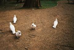 ''Focus free'' cockatoos (Matthew Paul Argall) Tags: kodakstar275 kodakultramax400 400speedfilm fixedfocus focusfree bird birds cockatoo