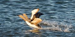 Dancing Loons (alicecahill) Tags: wild two usa bird animal alaska dancing wildlife pair ak nome loon breedingplumage redthroatedloon gaviastellata alicecahill