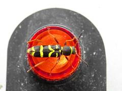 alarming... (Mattijsje) Tags: light color alarm lamp colors warning bug colours wasp beetle signals geel rood kever kleur kleuren wesp lichtje waarschuwing signalen kniptor doodgravertje waarschuwingslampje
