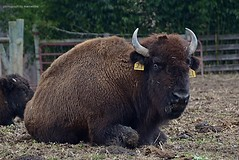 Life in Monkton (Marcellina.) Tags: bison monkton maryland gunpowderbisontradingco gunpowderbison animal mammal usa northamerica gbt 2014