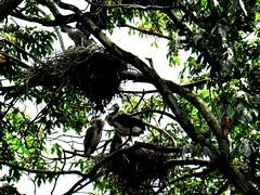 . (www.metaphoricalplatypus.com) Tags: trees nature birds animals wildlife herons nests